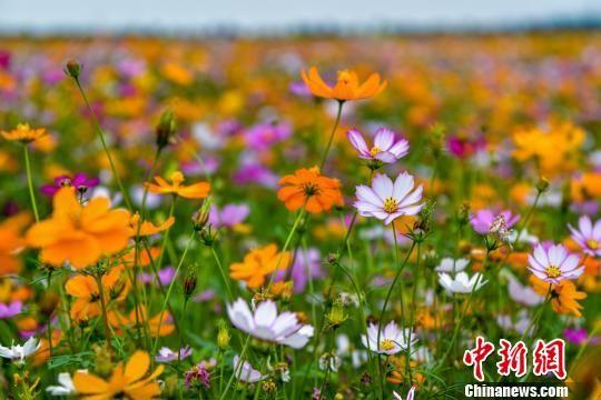 航拍三亚海棠湾国家水稻公园千亩花海