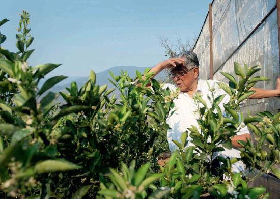 """2013年3月5日,褚时健和工作人员相处了自制的""""防风网"""",保护橙林不受哀牢山上的大风影响,85岁的他亲自在早晨上山查看。"""
