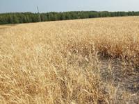 俄总统:四分之一粮食作物毁于干旱