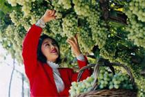 北京通州:葡萄采摘
