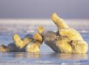 北极熊可爱冬泳照