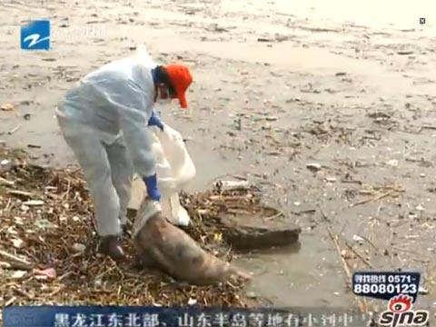 钱塘江持续打捞出500余头漂浮死猪