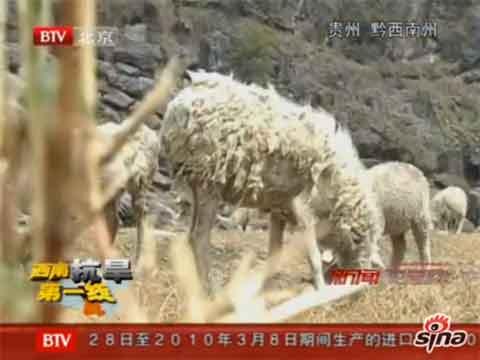 贵州晴隆县干旱致农户大批羊群死亡