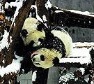 赠台大熊猫团团圆圆
