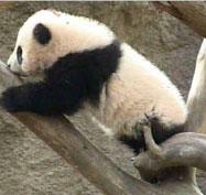 """明星熊猫""""珍珍""""的美国生活"""