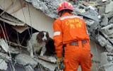 搜救犬在废墟上搜寻生命信号