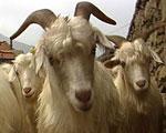 被羊绒蚕食