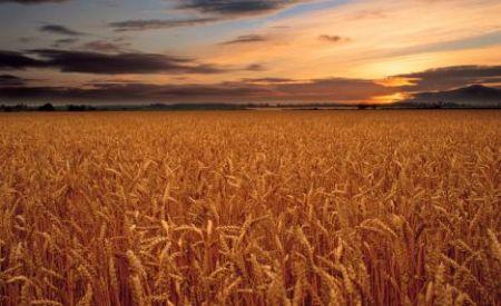 这是日出时分林肯郡的麦田。种植可以反射阳光的作物,有助于减小全球变暖产生的影响。