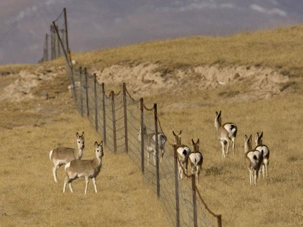 (二)威胁二:围栏阻断迁徙