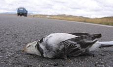 第3期:野生动物的公路梦魇