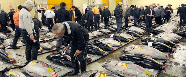全球范围内蓝鳍金枪鱼的数量大幅减少