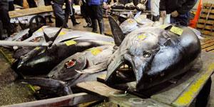 港商高价购得濒危金枪鱼遭环保组织批评(组图)