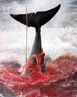 第15期:海洋动物美味背后的杀戮