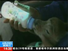 视频:可可西里小藏羚羊入住新家