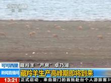 视频:藏羚羊生产高峰期即将到来