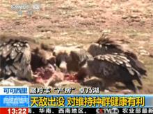 视频:卓乃湖待产藏羚羊遭天敌袭击