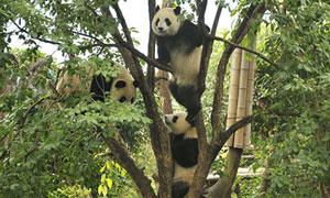 气候变化将迫使野生大熊猫改变栖息地