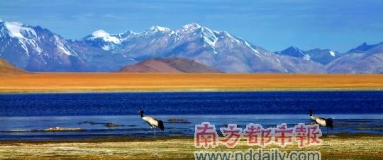 头点朱砂的黑颈鹤,在西藏又被称为黑鹤或仙鹤,是鹤类中唯一生活在高原的种类。 科考队供图