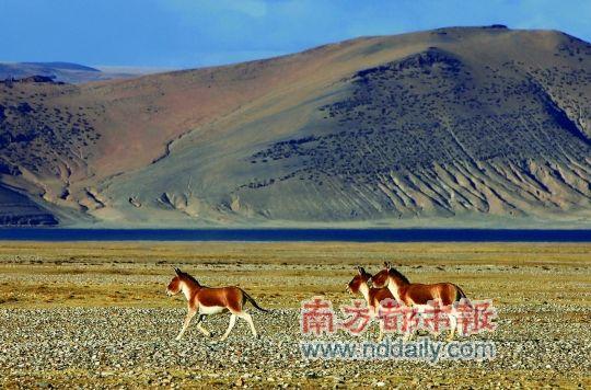 每年6-9月,藏野驴开始集群,近几年种群有扩大趋势。 科考队供图
