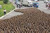 5000只鸭子占领公路