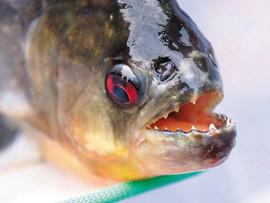 食人鱼咬掉2名男性生殖器致其死亡