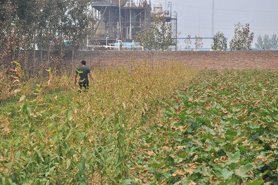 紧邻化工厂的农作物会慢慢干枯,直至绝收。