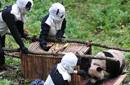 工作人员扮熊猫诱捕野化大熊猫