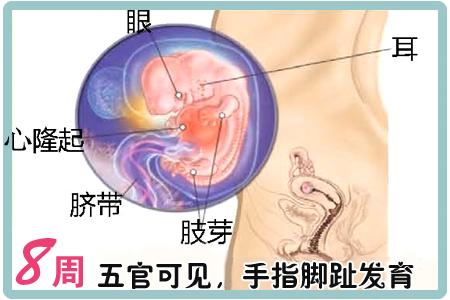 怀孕第8周胎儿图