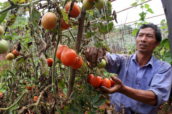 图文:呈贡拖墨村番茄因病滞销