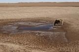 图文:一只牛在干涸湖底喝水