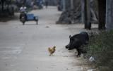 图文:澄迈县三多村散养的猪和鸡