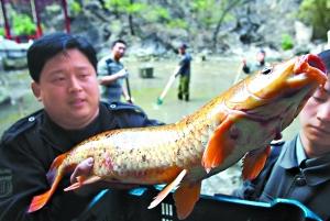 八大处清淤跃出特大红锦鲤鱼