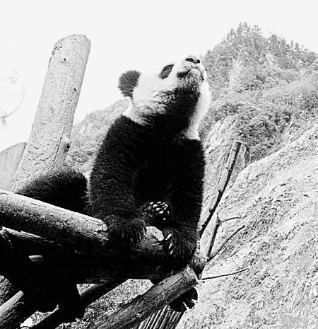 耿达幸福沟的黄草坪——神树坪,地质结构相对稳定,完全可以重建大熊猫