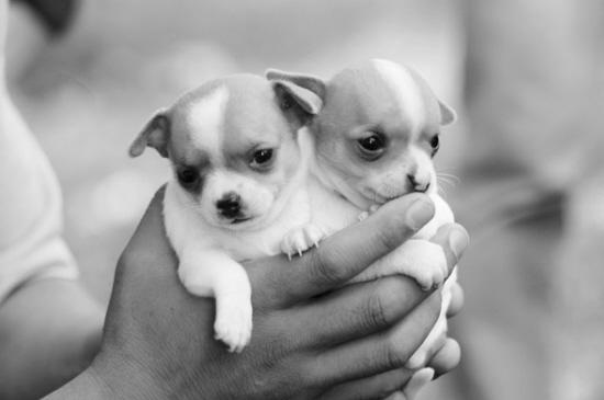 zooskool八狗一女-↑一手捧两只,可爱的吉娃娃   ↑一位时尚的女青年抱着迷你型贵妇犬前