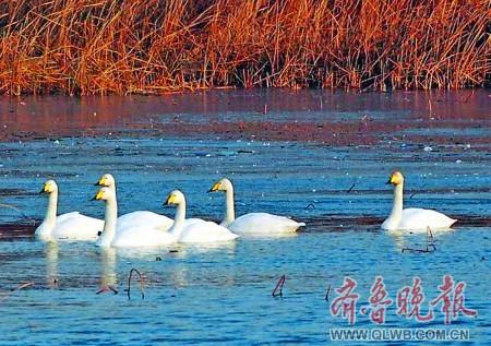 山东济南:30只天鹅鹊山龙湖越冬;