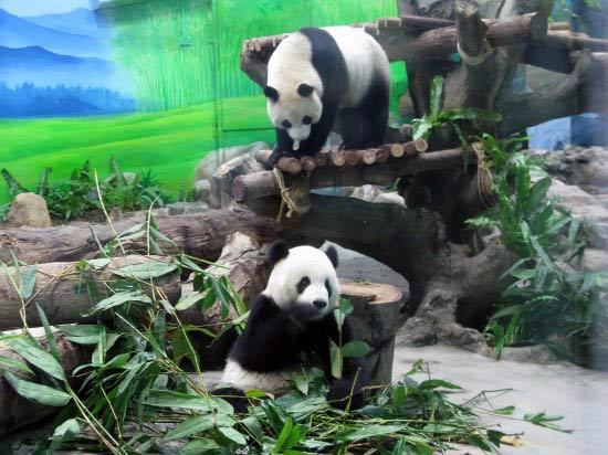 台北动物园熊猫馆正式开馆 团团圆圆与观众见面