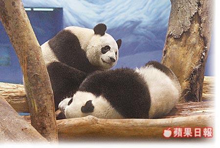 为了抢看熊猫,昨清晨6时起就有民众到动物园门口排队,上午8时不到就有