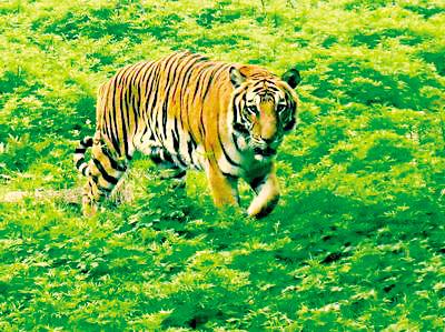重庆动物园里的老虎