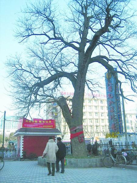 一人种下一棵树绿城年年添新绿 [一棵老树 一个故事 一段回忆]