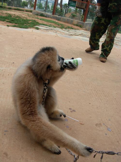 野生动物园的调皮长臂猿抢游客钙奶