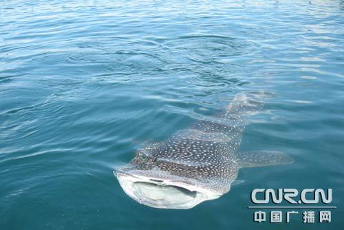 5米长的国家二级保护动物鲸鲨