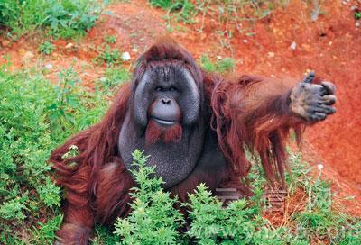 云南野生动物园胖请市民支招为猩猩减肥