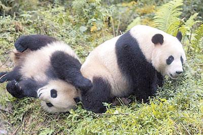 胡锦涛访大马将赠神秘礼物华人社团期盼熊猫