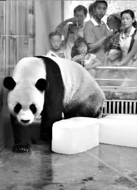 武汉动物园为大熊猫准备了降温的冰块