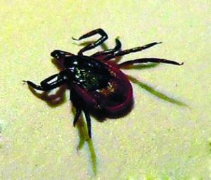 蜱虫所引起疑似无形体病已在6省市发现