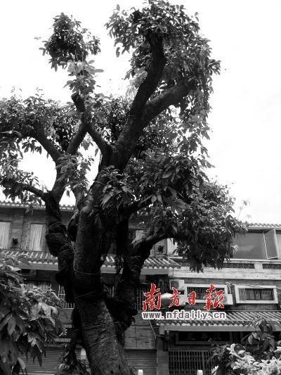 百棵荔枝树点缀荔枝湾,其中12棵大树耗资40万元