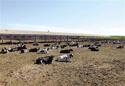 给航天员提供牛奶的奶牛,需要经过层层把关。