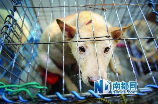 6月13日,玉林大市场,笼子里准备被交易的狗。这个市场主要以宠物狗交易为主,也有市民购买作为食材。南都记者 叶志文 摄