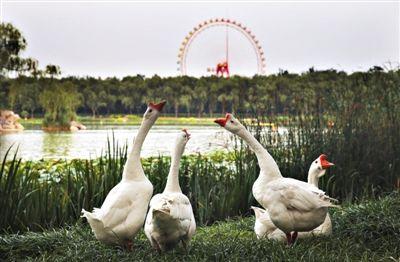 """昨日,龙潭西湖西岸,一群大白鹅在湖边""""曲项向天歌"""",远处,北京游乐园的摩天轮俨然是这附近的地标。 新京报记者 尹亚飞 摄"""