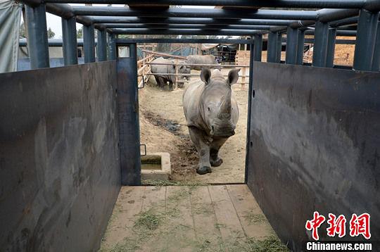 资料图:2013年3月26日,将启程前往原始栖息地普洱的犀牛,在云南野生动物园进行运输笼适应训练,它们将在普洱太阳河国家森林公园生活,承担起建立犀牛种群的历史重任。中新社发 白拓 摄